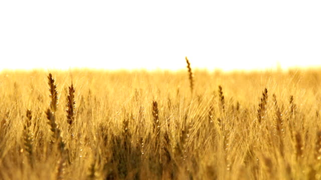 wheat ears in wind close - 小麦点の映像素材/bロール