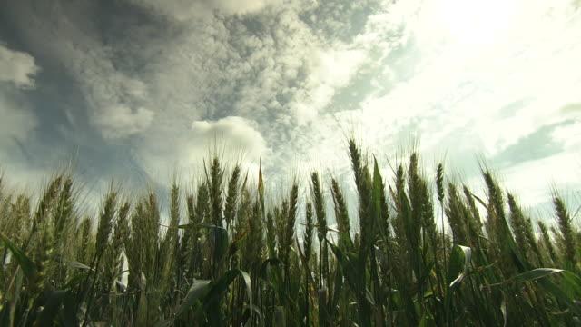 wheat ears stretching to sky, hokkaido, japan - 斜めから見た図点の映像素材/bロール