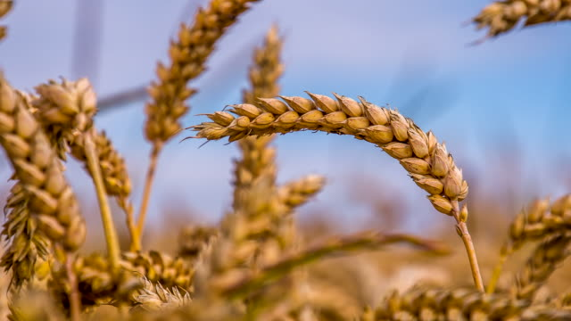 cu ds wheat ears - crop stock videos & royalty-free footage