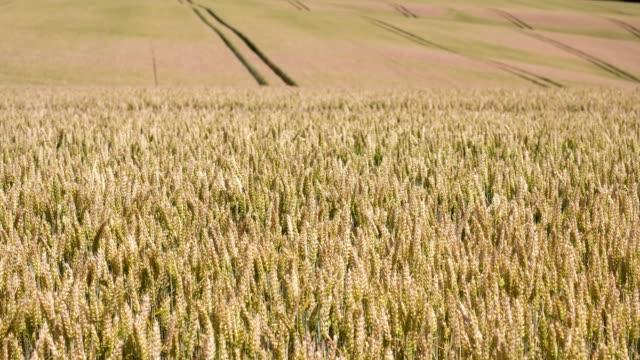 Agriculture de champ de blé