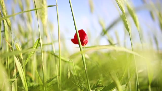 wheat field and poppy in the countryside - poppy stock videos & royalty-free footage