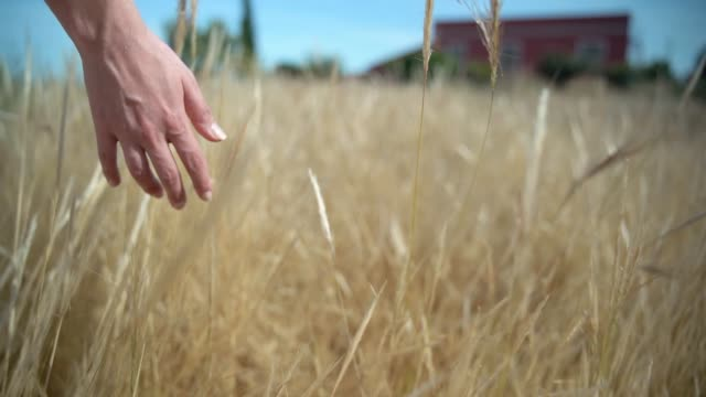 wheat field and woman hand - full hd format stock videos & royalty-free footage