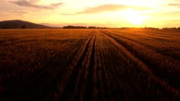 AERIAL: Wheat field at golden sunset