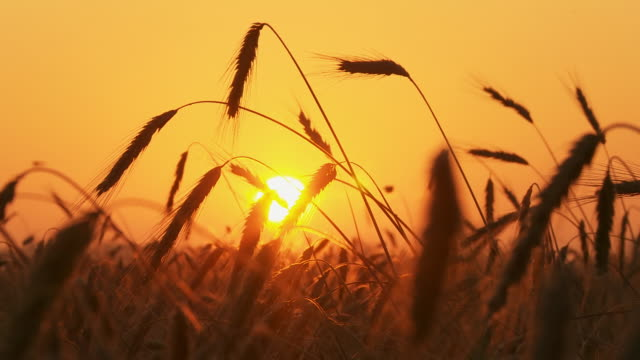 HD TIME LAPSE: Wheat Field At Sunrise