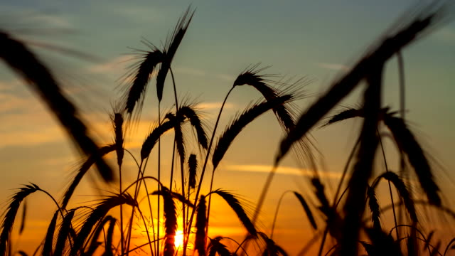 f/l wheat field at sunrise - ear of wheat stock videos and b-roll footage