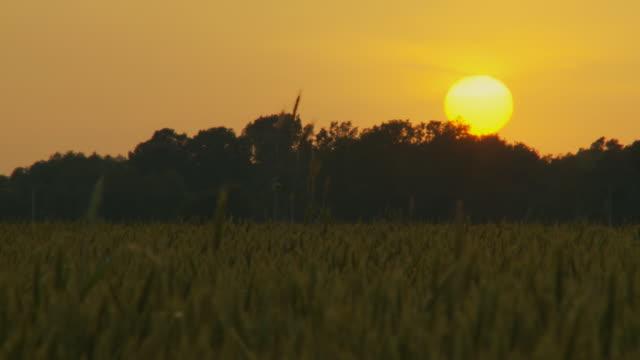 stockvideo's en b-roll-footage met hd: wheat field at sunset - volkorentarwe