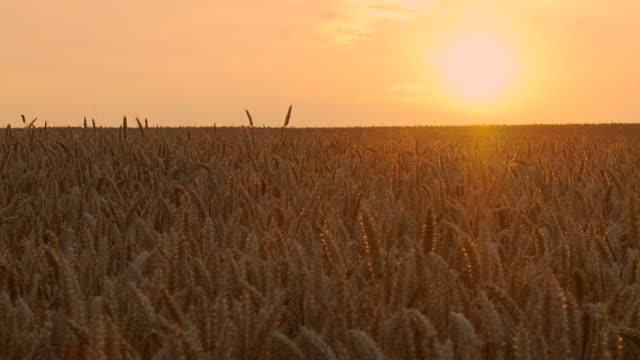 HD: Wheat Field At Sunset
