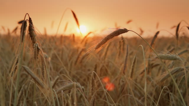 HD DOLLY: Wheat Field At Sunset