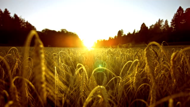 stockvideo's en b-roll-footage met wheat field at sunset (super slow motion) - field