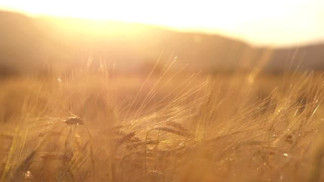 stockvideo's en b-roll-footage met wheat field at sunset - volkorentarwe