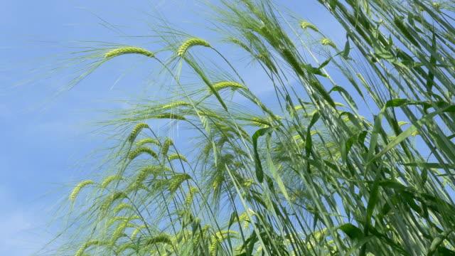 Wheat field blowing in the wind.