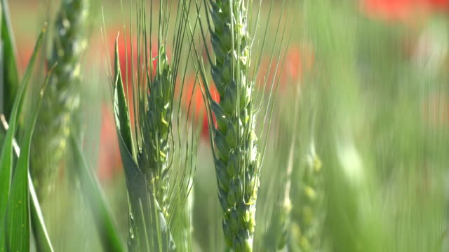wheat field closeup - pringtime - ear of wheat stock videos and b-roll footage