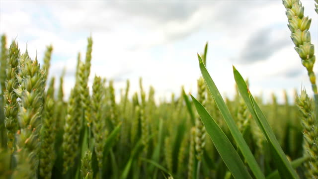 wheat field close-up tracking shot - dolly shot stock videos & royalty-free footage