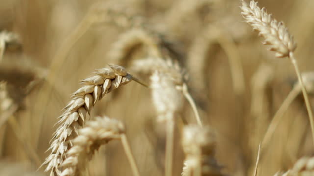 vidéos et rushes de cu selective focus wheat field / drax, yorkshire, united kingdom - beige