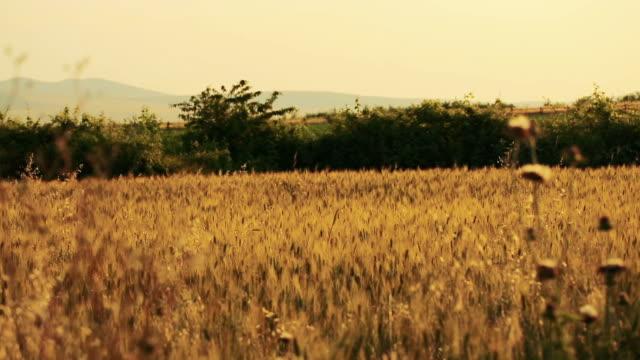 wheat field. ears of wheat close up. - 小麦点の映像素材/bロール