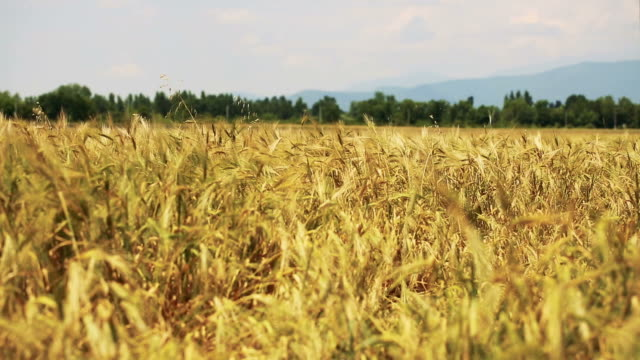 wheat field. ears of wheat close up. - caucasus stock videos and b-roll footage