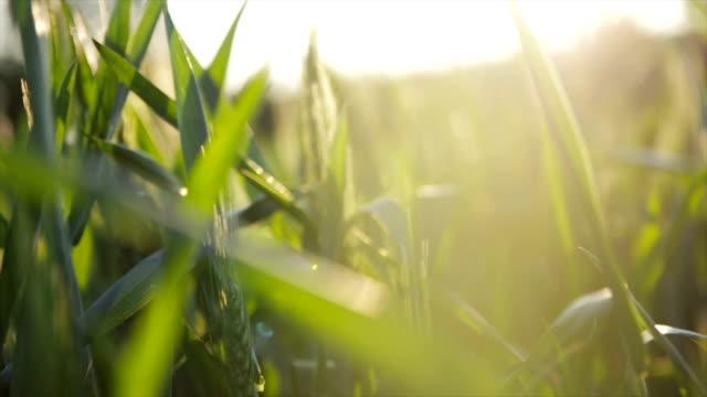 小麦のフィールドの太陽をお楽しみいただけます。 - 穀物 ライムギ点の映像素材/bロール