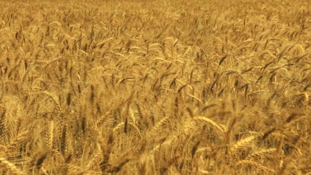 Wheat Field HD 1080