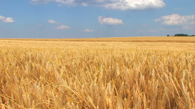 wheat field in a strong wind - cereal plant stock videos & royalty-free footage