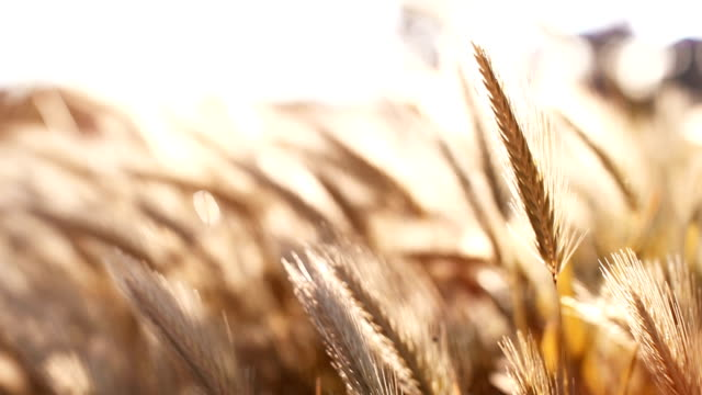 wheat field in a sunny day - tranquility stock videos & royalty-free footage