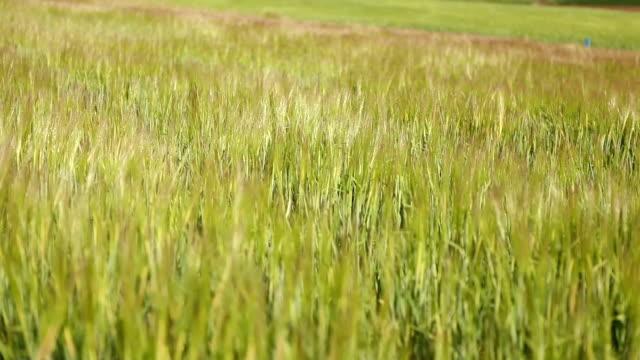stockvideo's en b-roll-footage met wheat field in andalusia - volkorentarwe