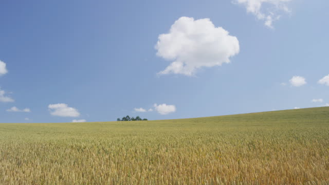 wheat field in biei, hokkaido, japan - hokkaido stock videos & royalty-free footage