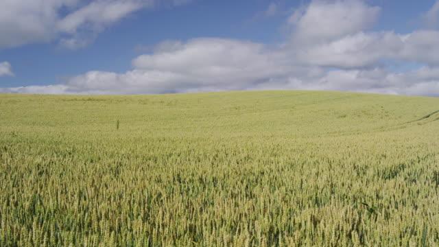 vídeos y material grabado en eventos de stock de wheat field in biei, hokkaido, japan - cereal