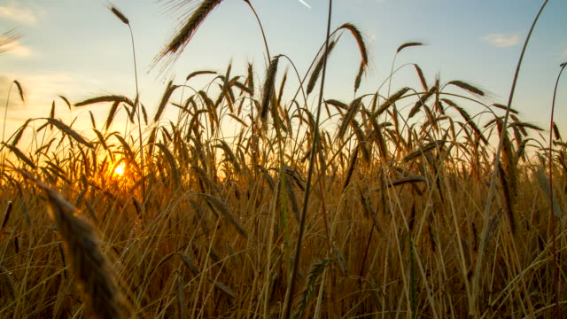 f/l wheat field in the sunrise - barley stock videos and b-roll footage