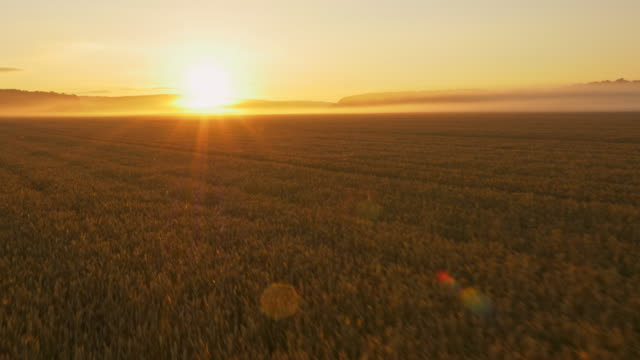aerial wheat field in the sunrise - barley stock videos and b-roll footage