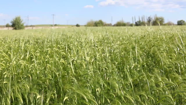 wheat field in wind - selimaksan stock videos & royalty-free footage