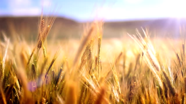 stockvideo's en b-roll-footage met wheat field in wind - field