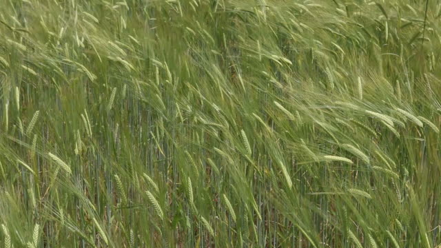 Vetefält i vinden