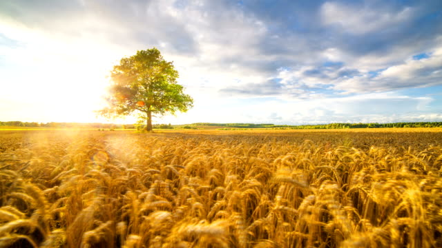 wheat field on sunset - oak tree stock videos & royalty-free footage