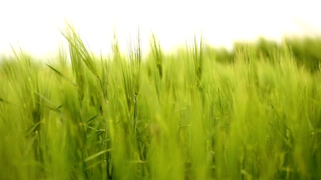 wheat field on wind - group of objects stock videos and b-roll footage