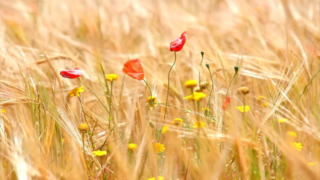 wheat field poppies - wheat stock videos & royalty-free footage