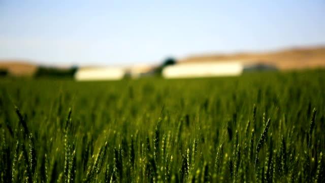 wheat field rack focus - idaho stock videos & royalty-free footage