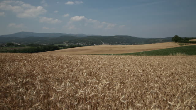 Wheat field scenic, ripe, Ardeche, France