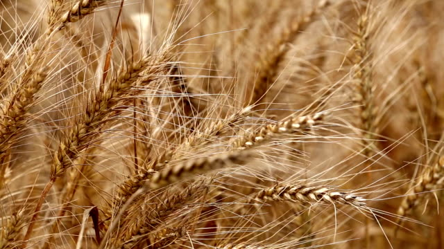 wheat field swaying - image focus technique stock videos & royalty-free footage