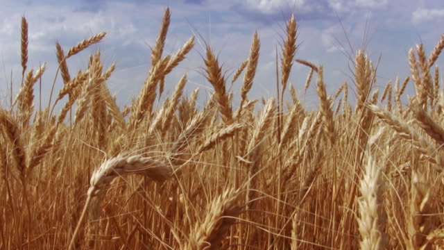 wheat campo di - appuntito video stock e b–roll