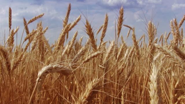 wheat campo di - cereal plant video stock e b–roll