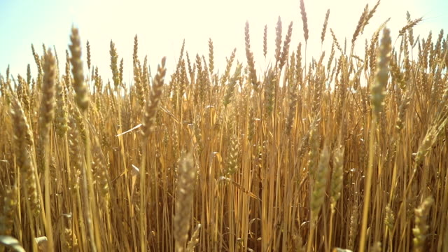 wheat field - mpeg video format stock videos & royalty-free footage