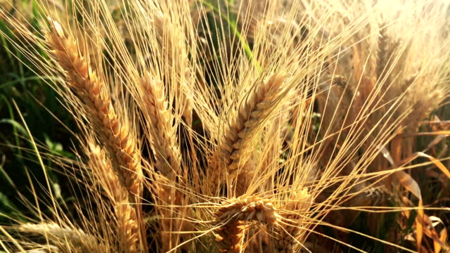 wheat field - cereal plant stock videos & royalty-free footage