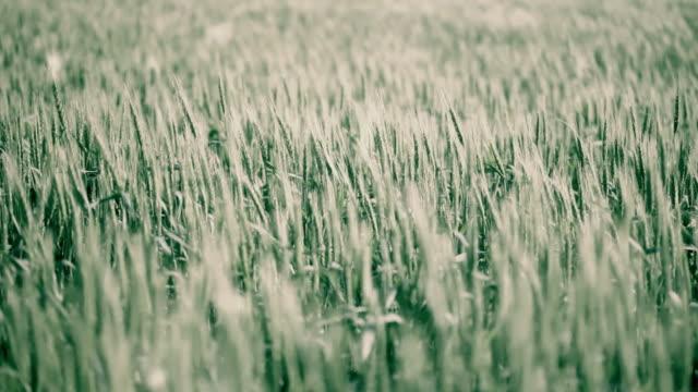 wheat campo di - zona erbosa video stock e b–roll