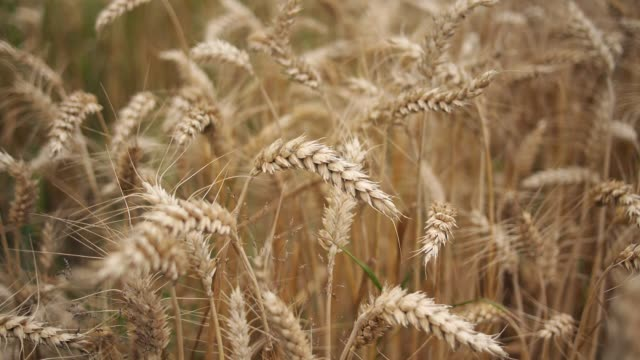 wheat field - tan stock videos and b-roll footage