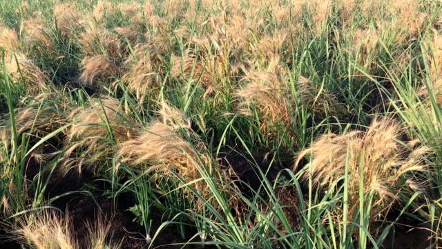 vídeos y material grabado en eventos de stock de campo de trigo - grano planta