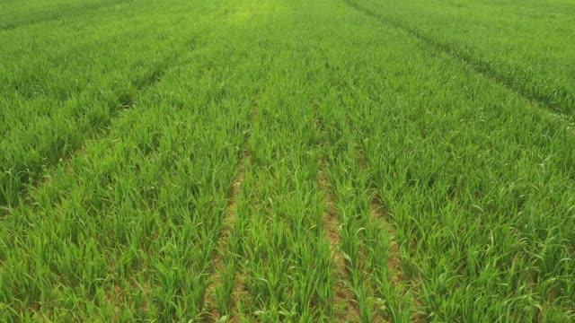 vídeos y material grabado en eventos de stock de campo de trigo - monocultivo