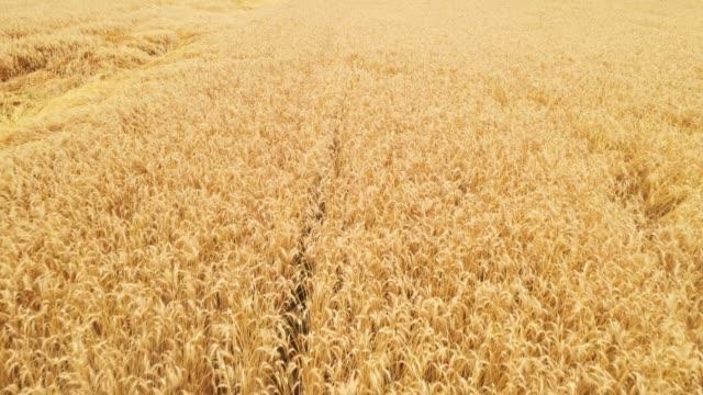 小麦畑 - 穀物 ライムギ点の映像素材/bロール