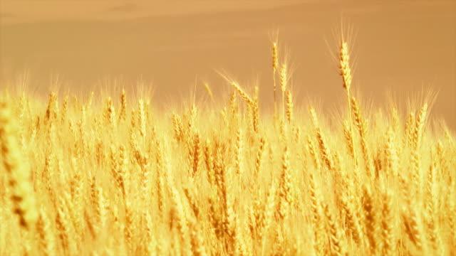 wheat field - 小麦点の映像素材/bロール