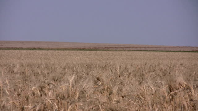 wheat field - saskatchewan stock videos and b-roll footage