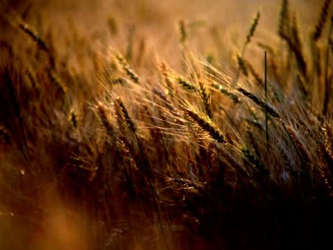 vídeos de stock e filmes b-roll de campo de trigo - alimento básico